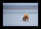 Female Grizzly Bear at Low Tide
