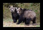 These big male grizzly bears take a break from fighting and briefly out the photographer. Luckily I was in a tree stand out of their reach.