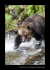 A grizzly bear chasing a fish during the salmon run.