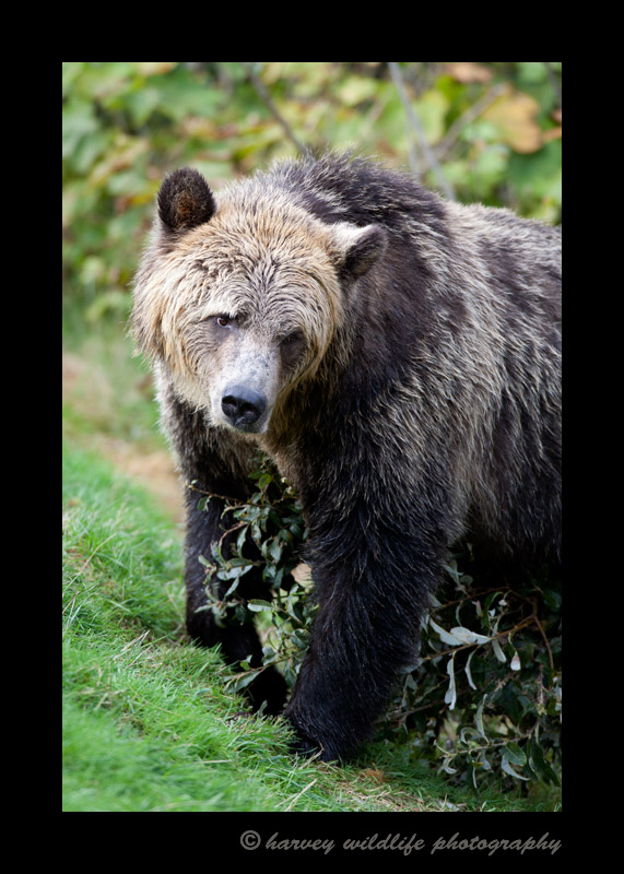 This grizzly walked over to a tree and beat it up. I think she was showing off how tough she was to intimidate the other bears so they would leave her alone.