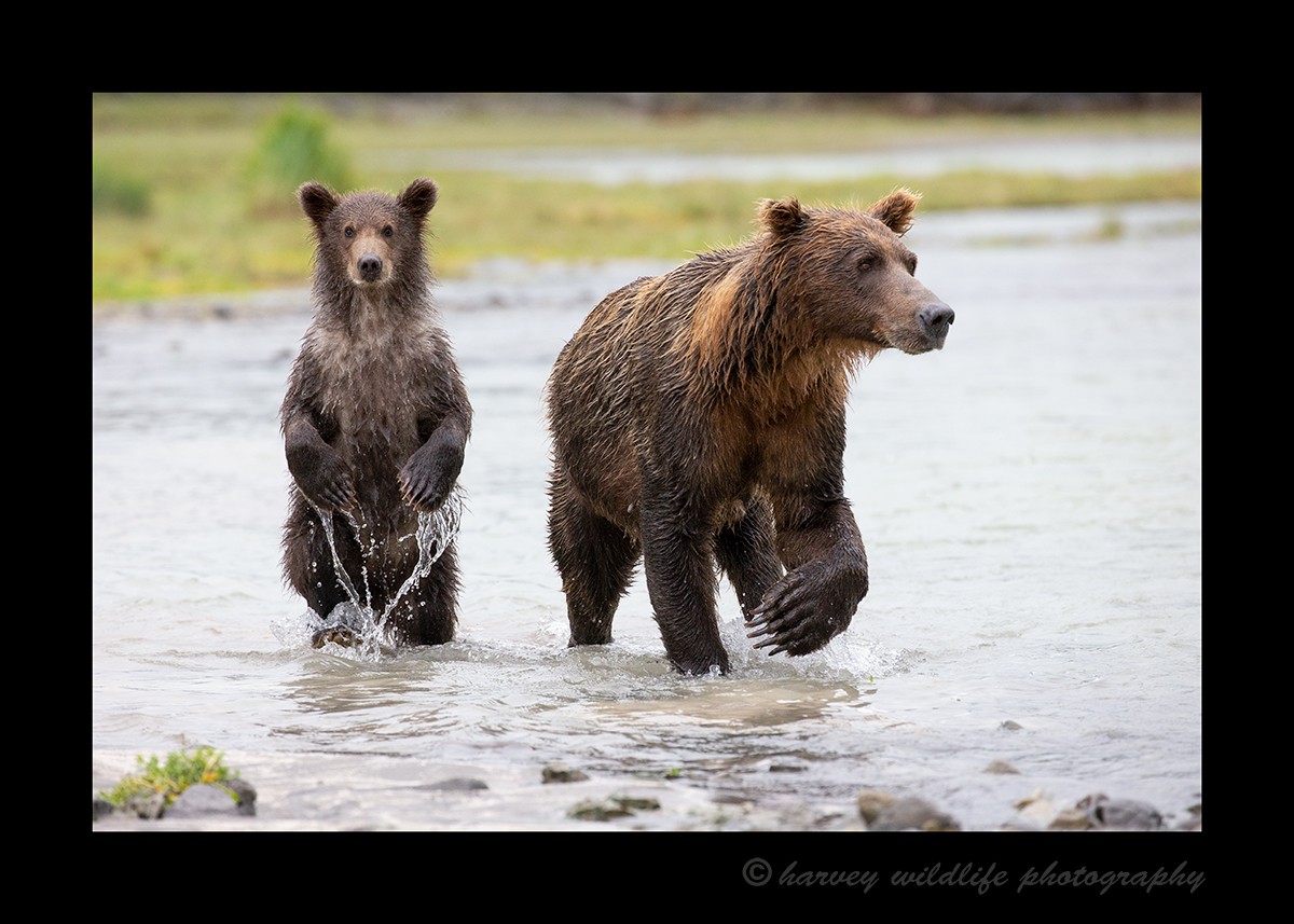 Grizzly Mom and Cub in Katmai National Park