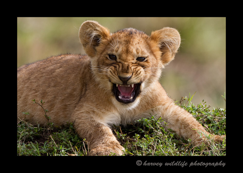 This cub is part of the famous Marsh Pride in the Masai Mara. This picture shows him letting out a baby roar.