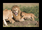 Grumpy-Male-Lion-and-Lioness-and-cub