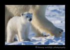 This image show puts into persoepective how much larger the mother polar bear is than her three month old polar bear cubs.