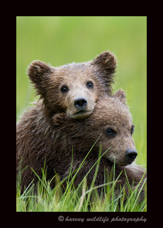 This dominant brown bear cub uses his sibling as a pillow.