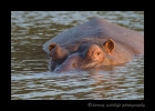 Hippo_IMG_1534