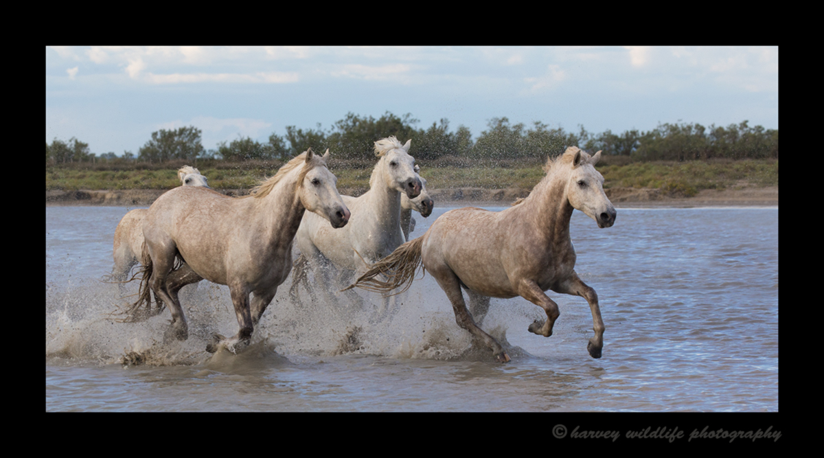 Picture of Camargue horses running through the Marsh in Southern France, 2016.
