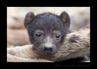 Hyena Cub on Mom's Leg, HW Safaris