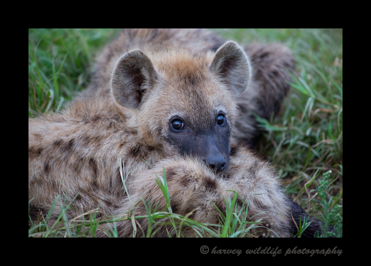 Picture of a hyena pup in Masai Mara National Park, Kenya. Photo by Greg of Harvey Wildlife Photography.