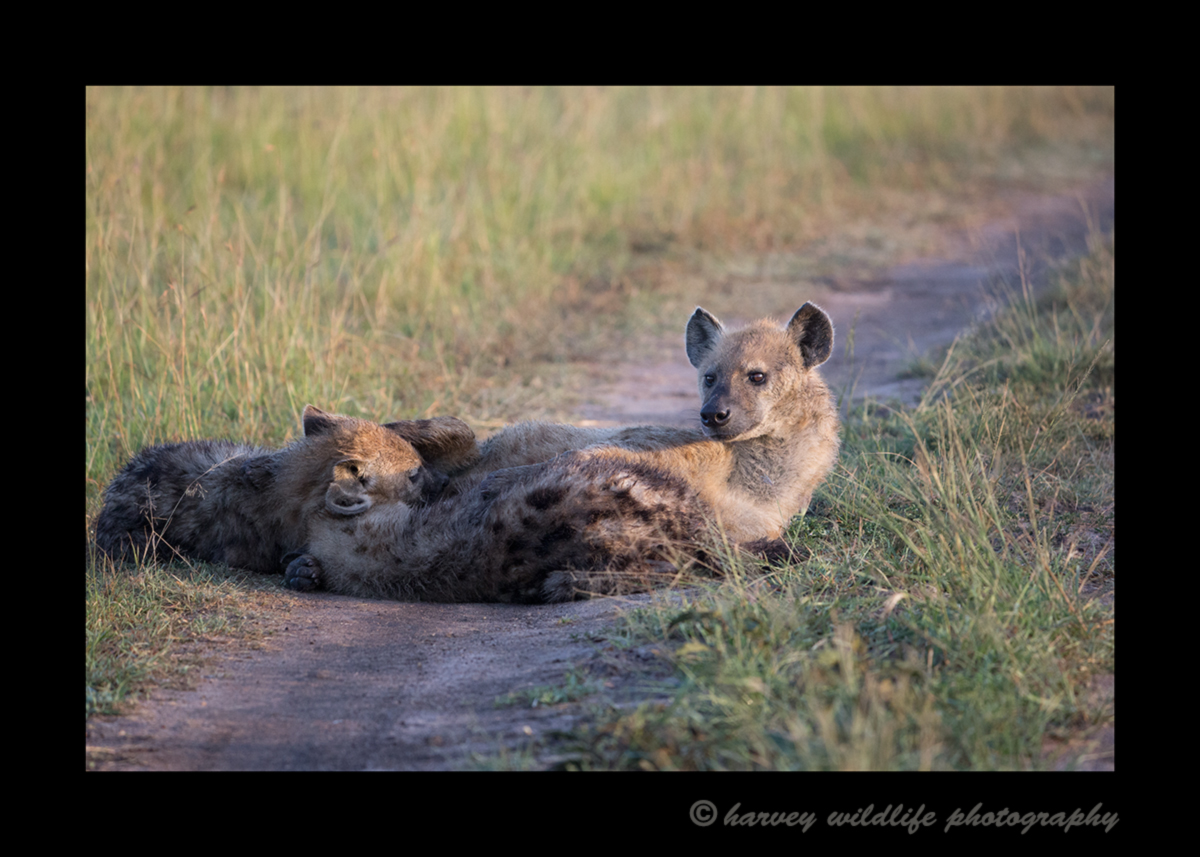 Picture of hyenas nursing in masai mara national reserve. Photo by Harvey Wildlife Photography.