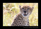 Cheetah in the Mara