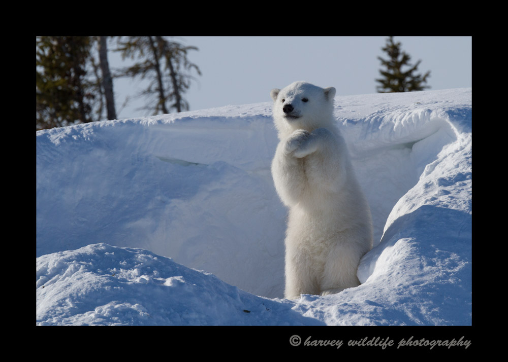 Polar bear poses for photographs.