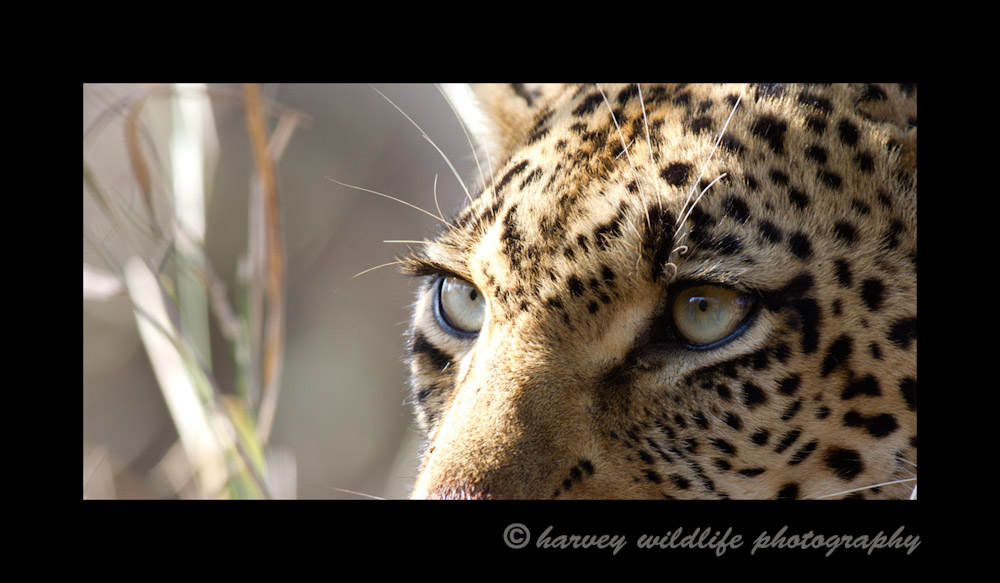 Leopards have an intense look in their eyes. I didn't quite get the picture I was looking for, but I'll be back to try again.