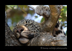 Four Month Old Leopard CubSleeping in a tree after being scared by elephants. Pretty stressful for a little guy, so he needed a little nap.Kikilezi female's four month old son. August, 2012