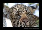 Four Month Old Leopard CubKikilezi female's four month old son. August, 2012