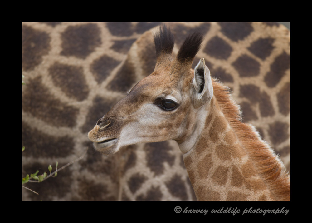 This is a southern giraffe baby in South Africa.