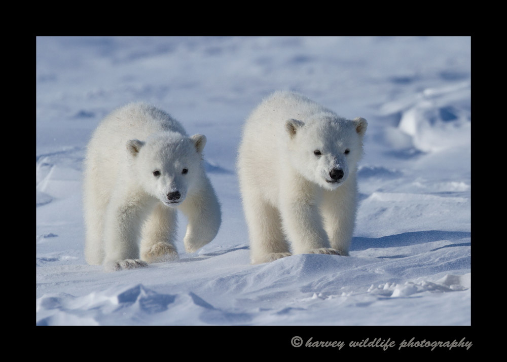 Polar bear cubs in Wapusk National Park.