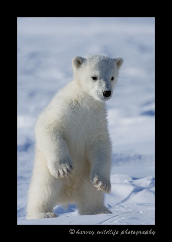 Photograph of a polar bear cub standing up.