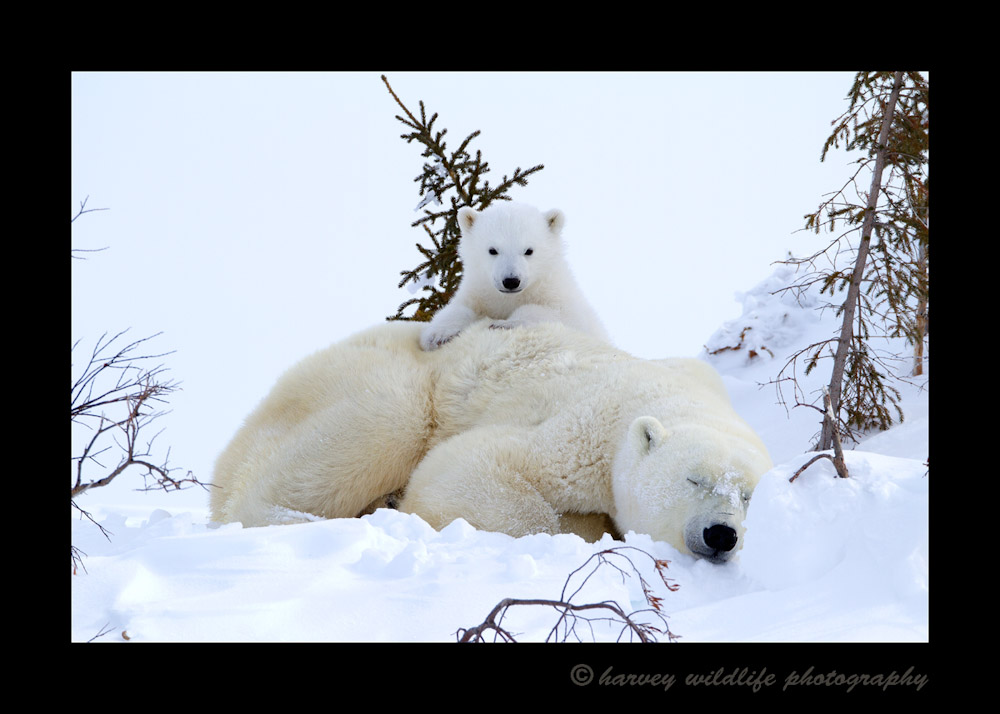 Picture of a polar bear cub relaxing on Mom