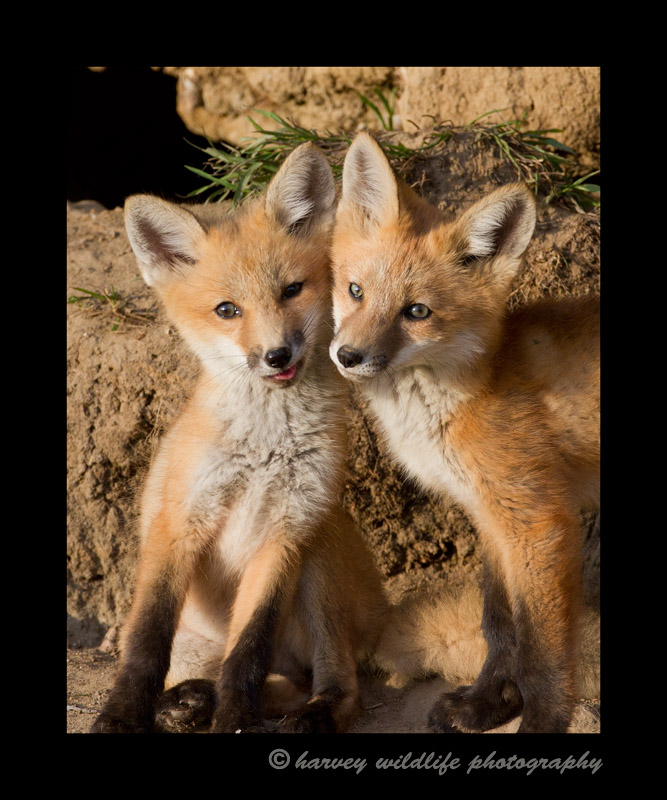 These two fox kits look like they're posing for a picture.