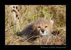Our guide knew we wanted to see cheetah cubs and knew of a mom and four cubs that were located in the South Mara area. On a hope and a prayer we drove 45 minutes to see if we could find them. 30 minutes after arriving there we found the family. The long shot paid off and we had some really great sightings.