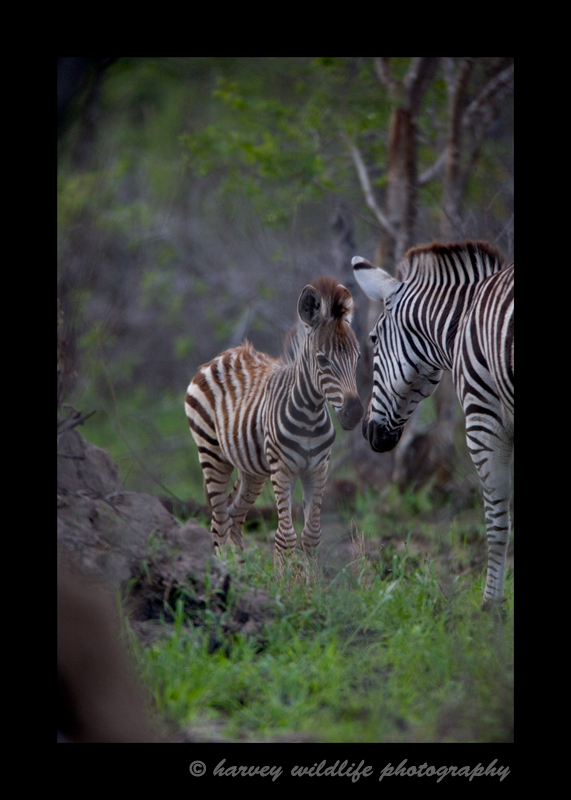 Zebras in South Africa are quite skittish. These zebras were well into the bush when I photographed them.