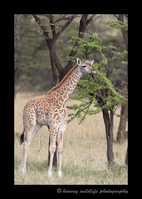 This young masai giraffe is about three months old and still has an attached umbilical cord.