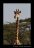 Masai giraffe in Olare Oruk Conservancy. August, 2012.