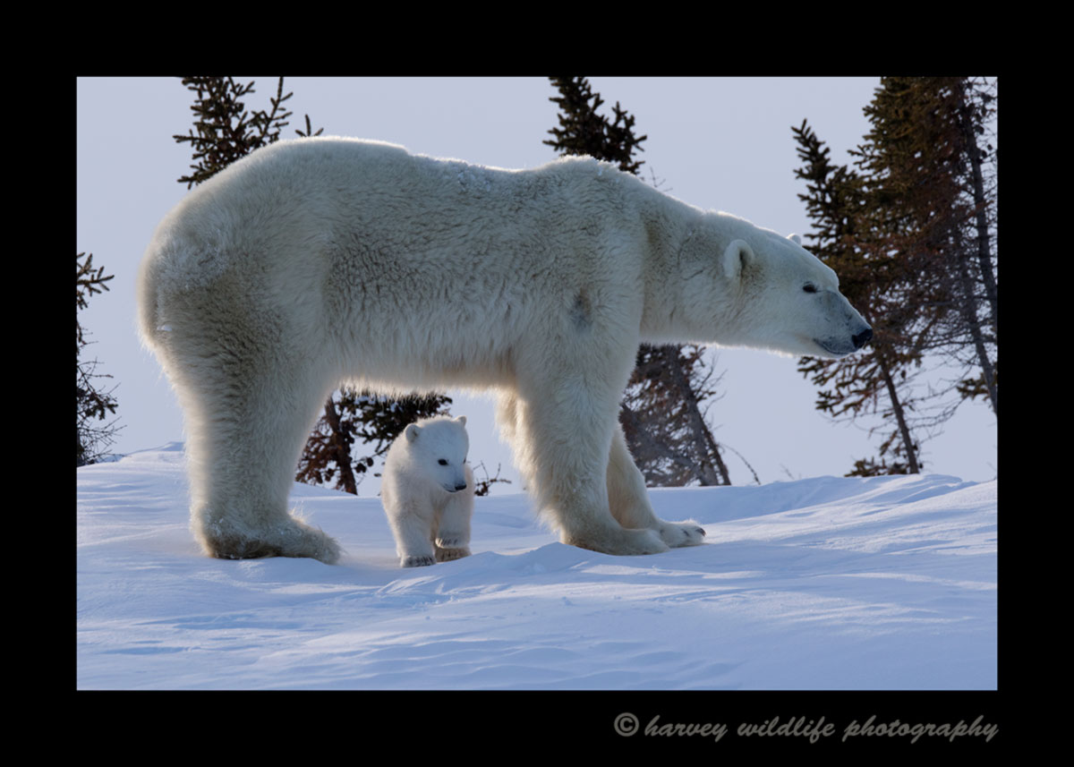 Polar bear and baby in Wapusk National Park