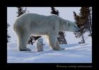 Polar bear and baby in Wapusk National Park