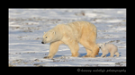 Ice bear family walking along the tundra in Wapusk National Park