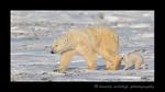 Ice bear family walking along the tundra in Wapusk National Park