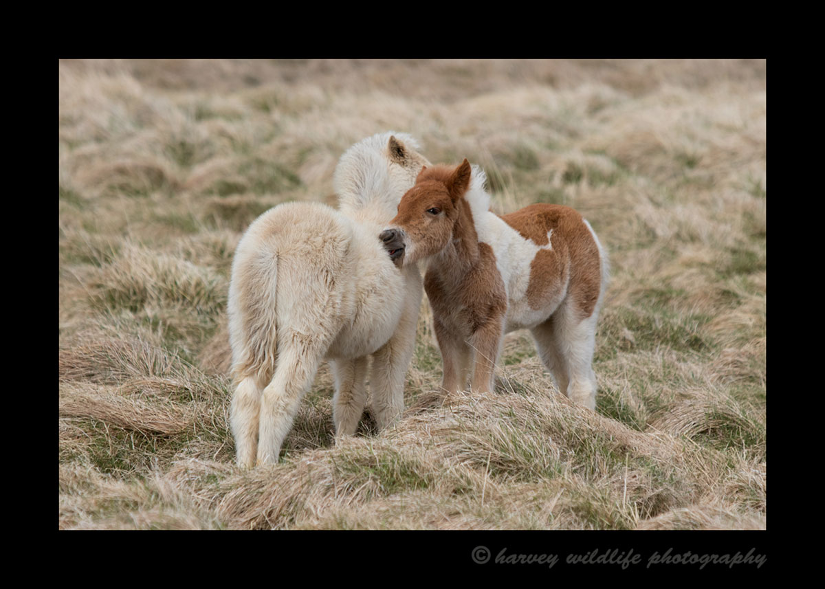 Picture of Icelandic foals scratching one another.