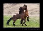 Iceland_horses_rearing_up