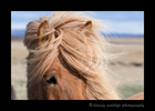 Picture of an Icelandic horses mane.