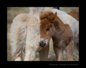 Picture of two icelandic horse foals snuggling in a field in Iceland.