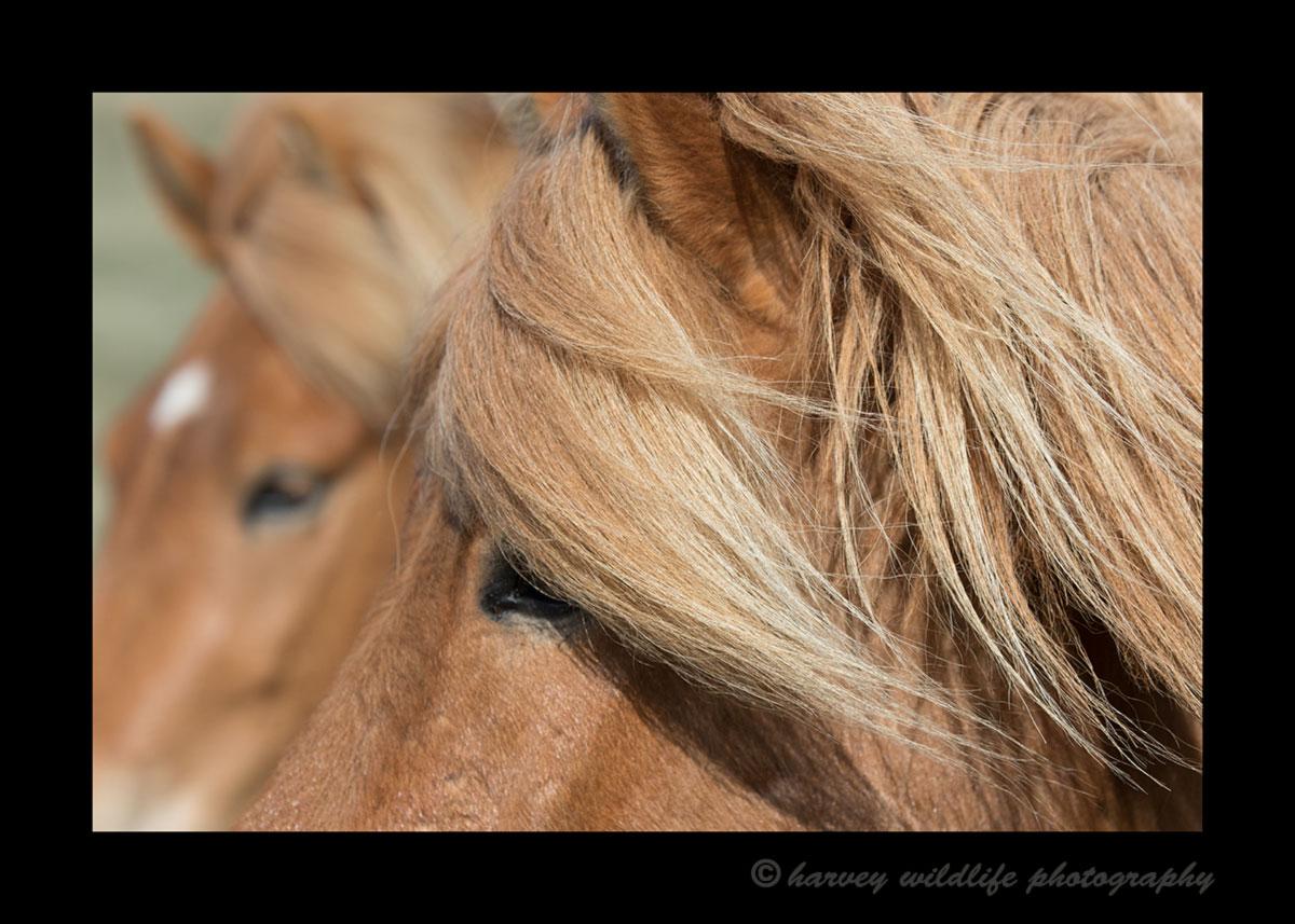 Icelandic_horses