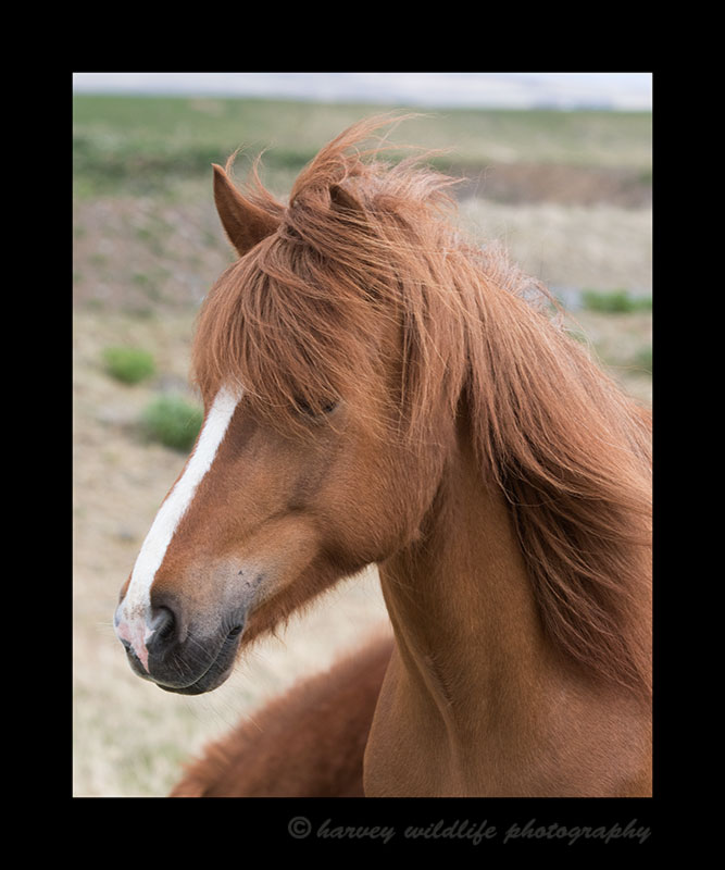 Photo of an iceland horse profile.