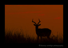 Impala_Sunset