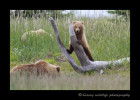 This impatient cub ran ahead of mommy, then lost her in the tall grass, so climbed this dead tree for a better vantaget point.