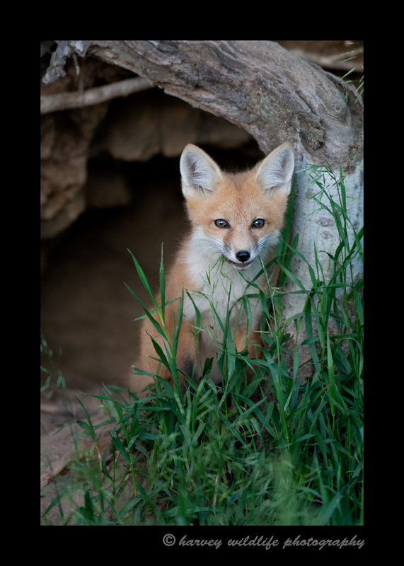 June_24_red_fox