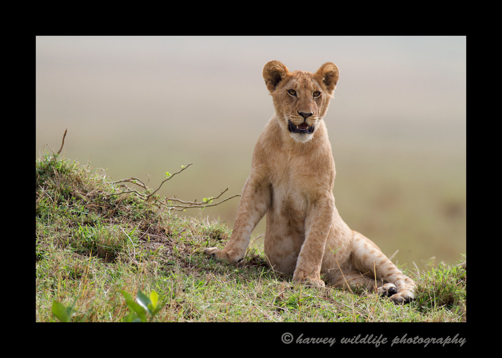 This lion cub is about six months old and is part of the famous Marsh pride in the Masai Mara, Kenya.