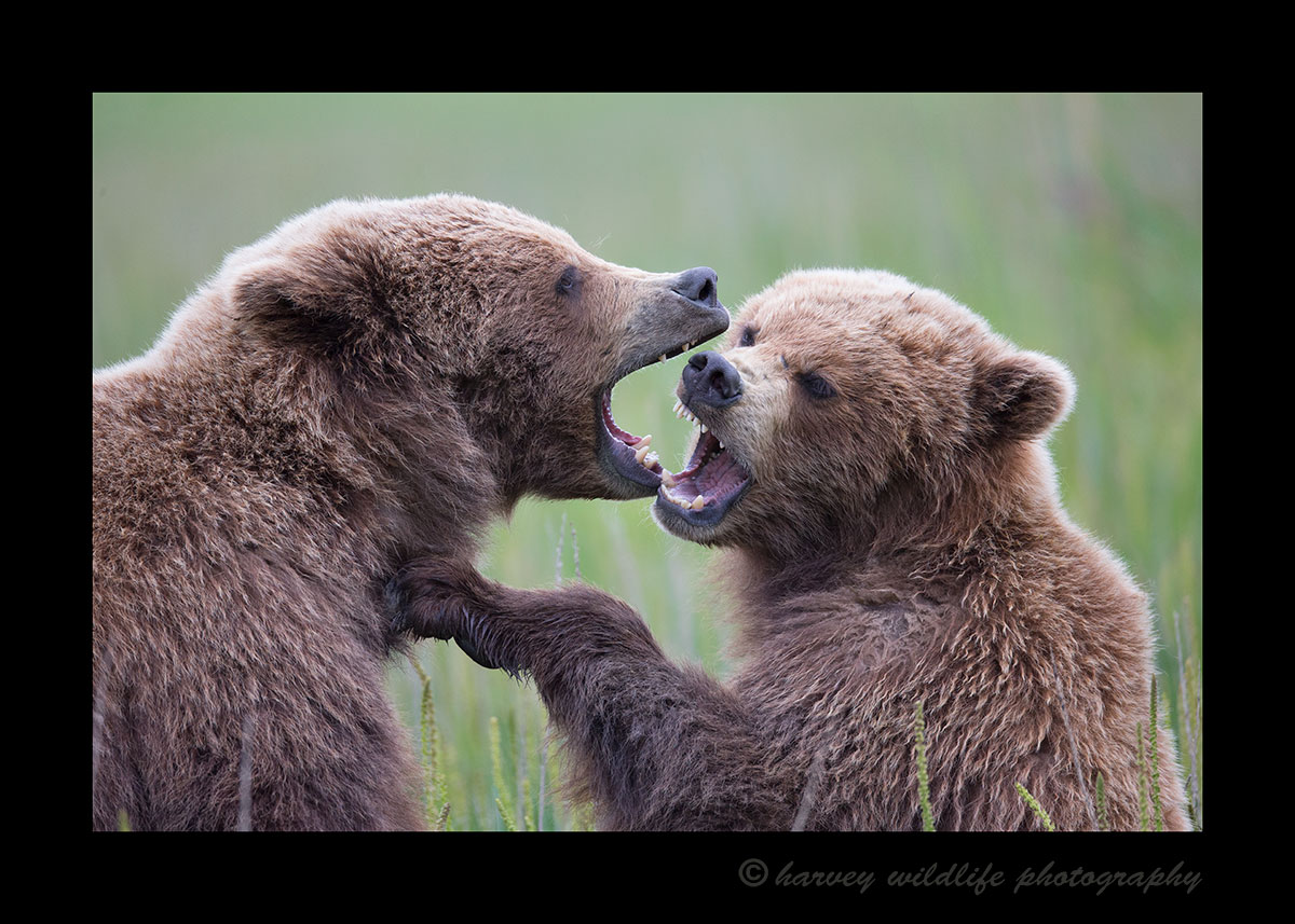 Brown Bear Juveniles Sparring