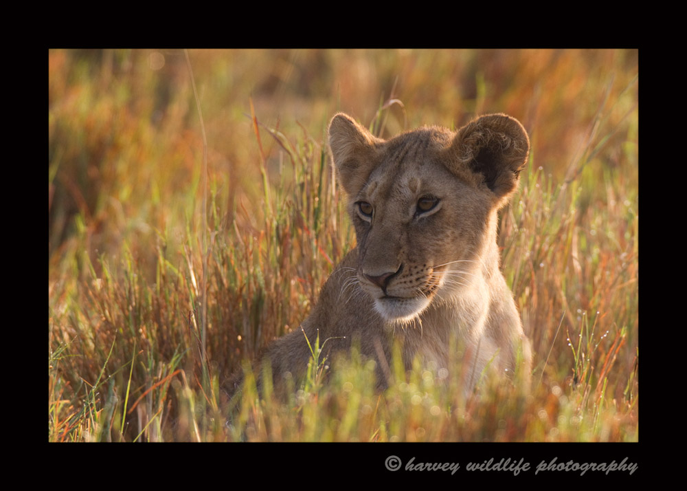 This is one of the lion cubs from the famous Marsh pride. This cub is about six months old in this picture.