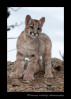 This mountain lion cub is a wildlife model in Montana.