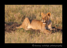 Juvenile lion from the Marsh Pride in the Masai Mara, Kenya