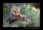 Juvenile_fox