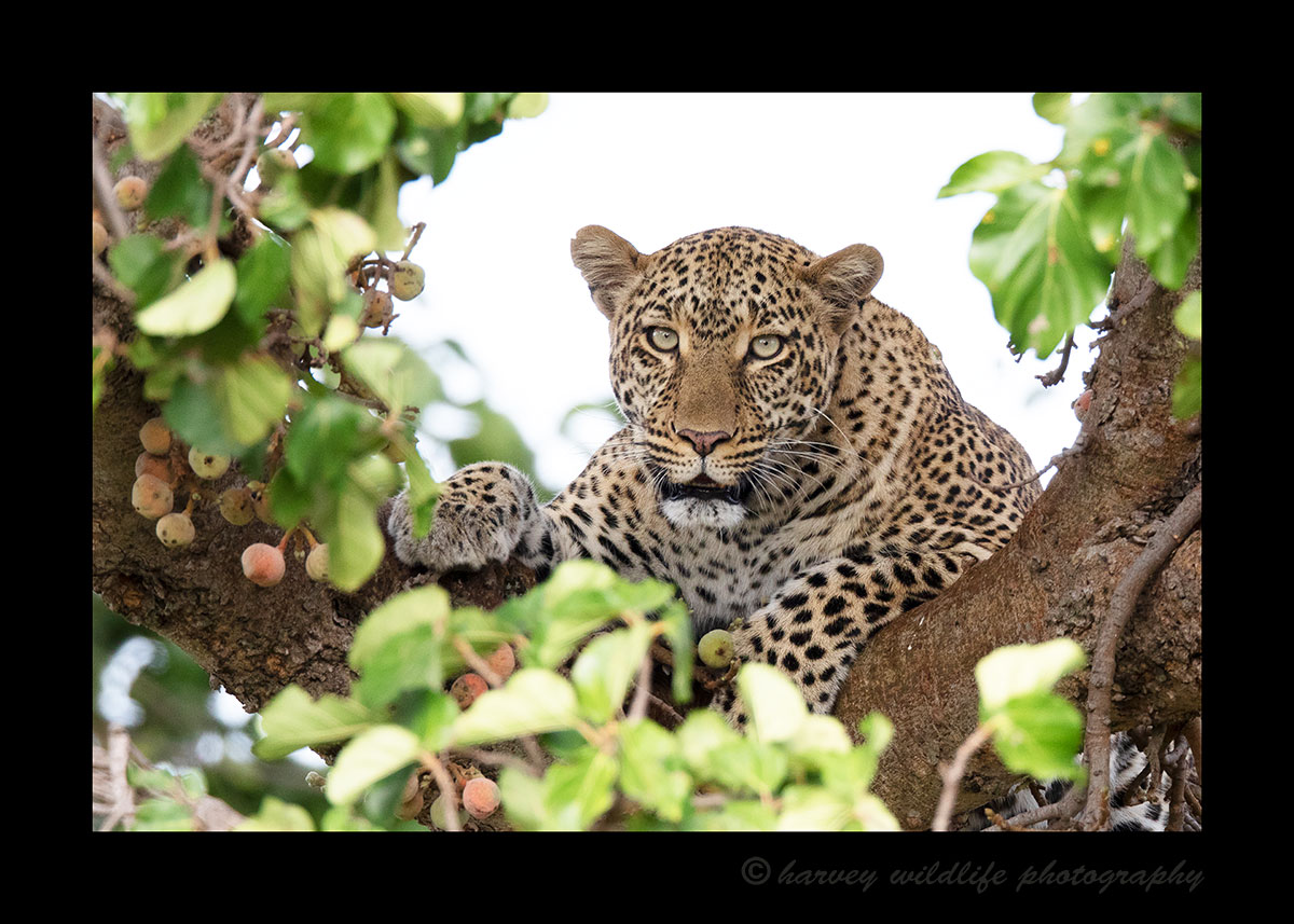 Kaboso in Fig Tree, Masai Mara, HW Safaris