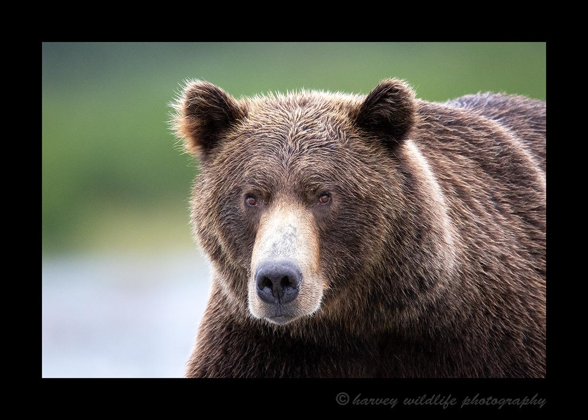 Katmai Brown Bear head on
