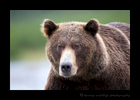 Katmai Brown Bear head on